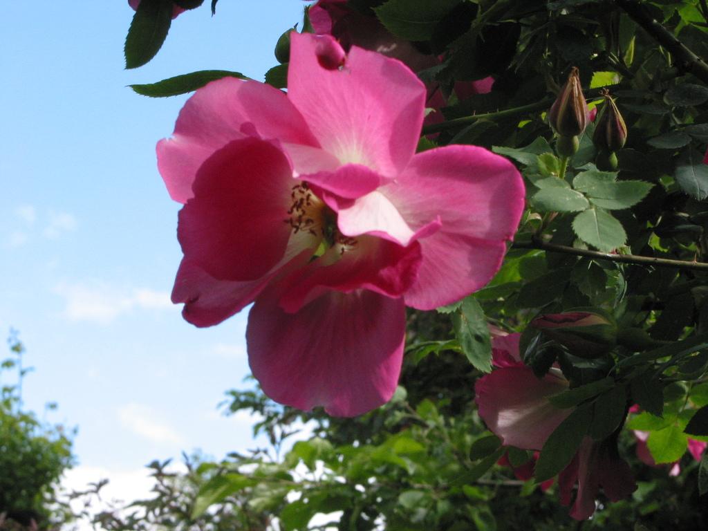 Frühlingszauber (Rosa pimpinellifolia, 1942)