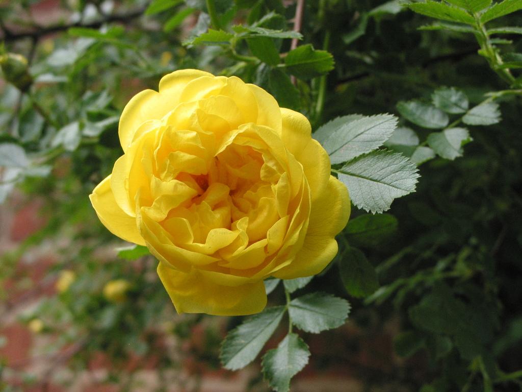 Persiana (Rosa foetida, 1607)