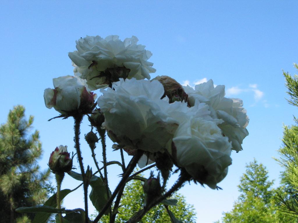 Rosa muscosa Alba