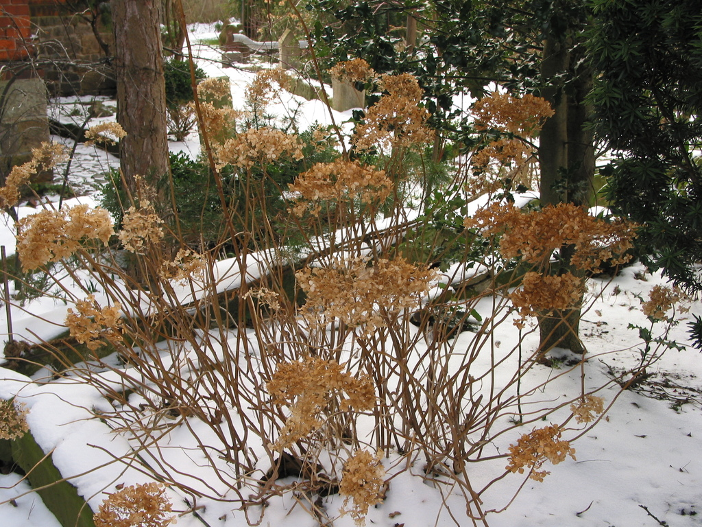 Hortensien im Winter