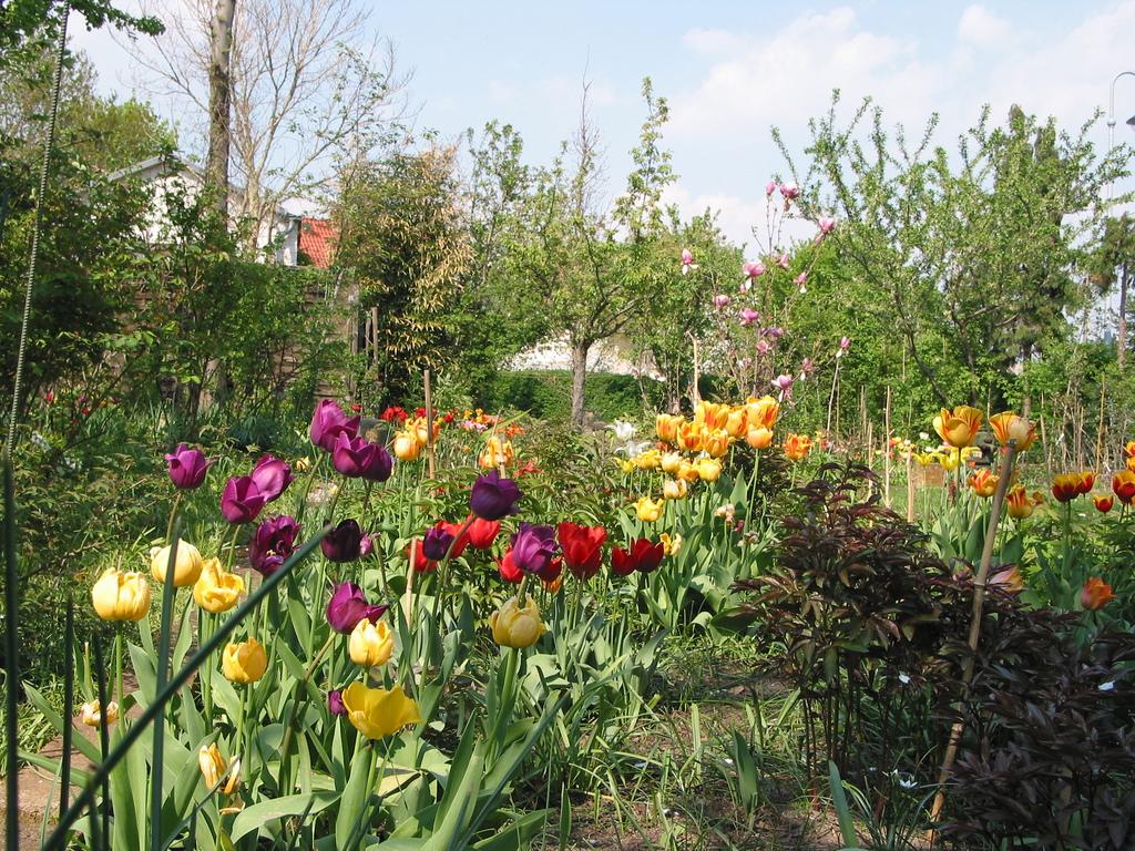 Tulpen im Bauerngarten