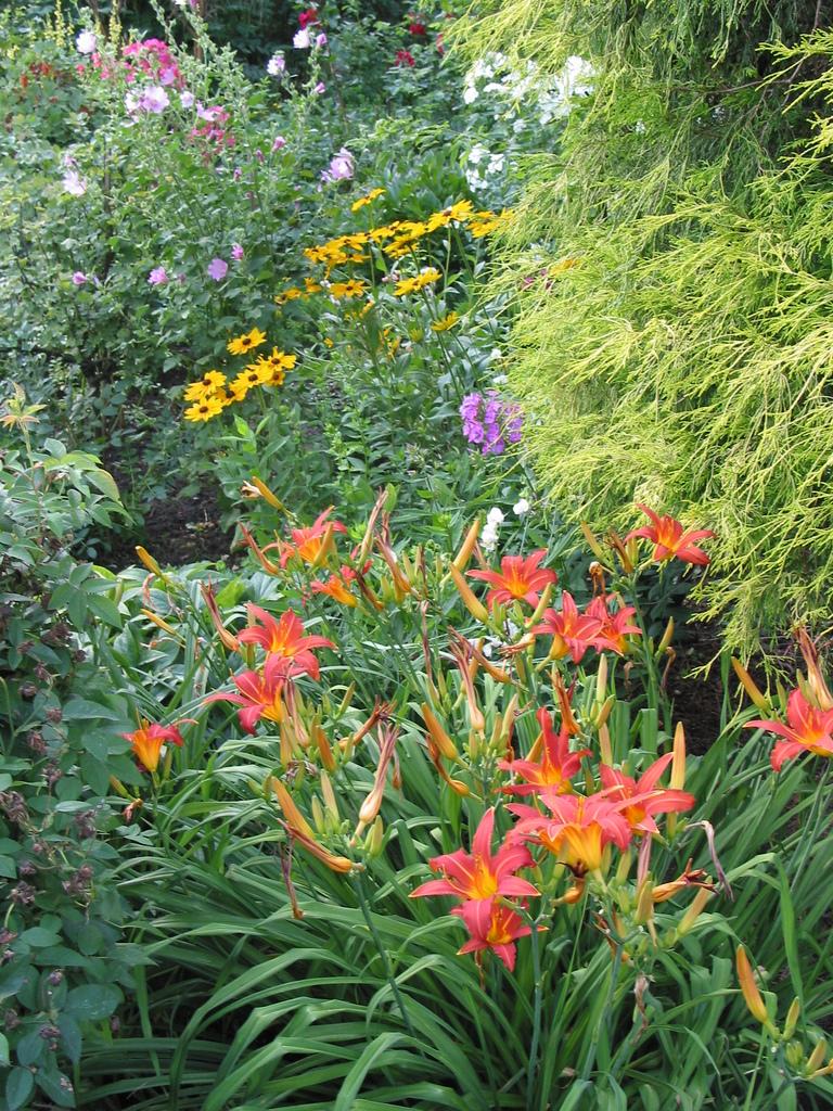 Taglilien, im Hintergrund Rudbeckia und Malven