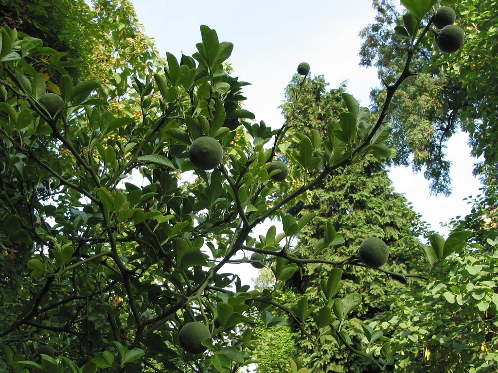 Poncirrus trifoliata (winterharte Zitrone)