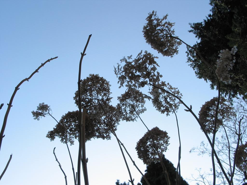 alte Blütenstände der Hortensien im Frühjahr
