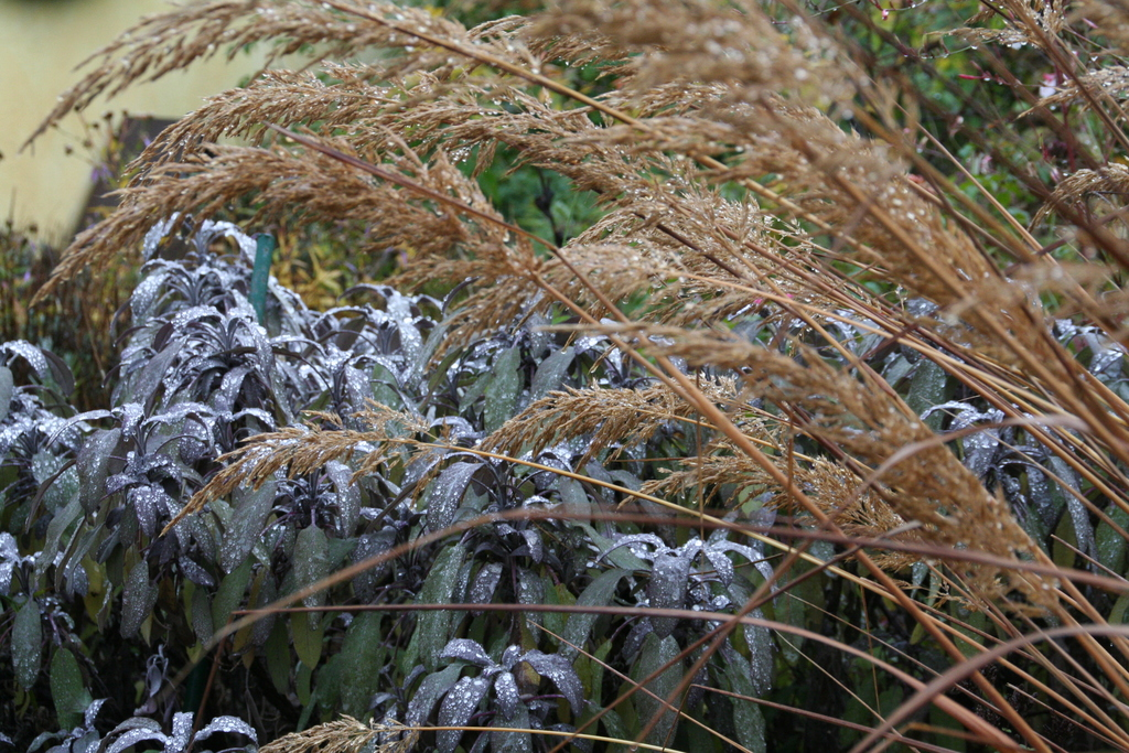 Gräser vor nassem Salbei