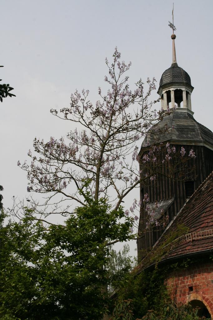 Paulownie vor der Saxdorfer Kirche