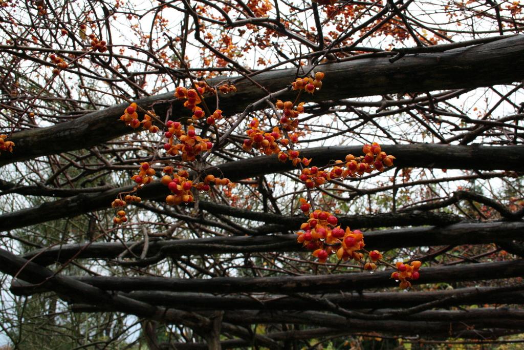 Die Früchte des Baumwürgers setzen letzte farbige Akzente im Spätherbst.
