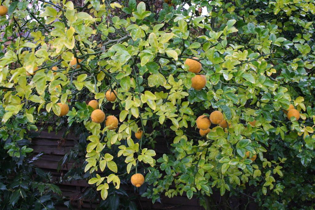 Die Früchte der winterharten Zitrone (Poncirrus trifoliata).