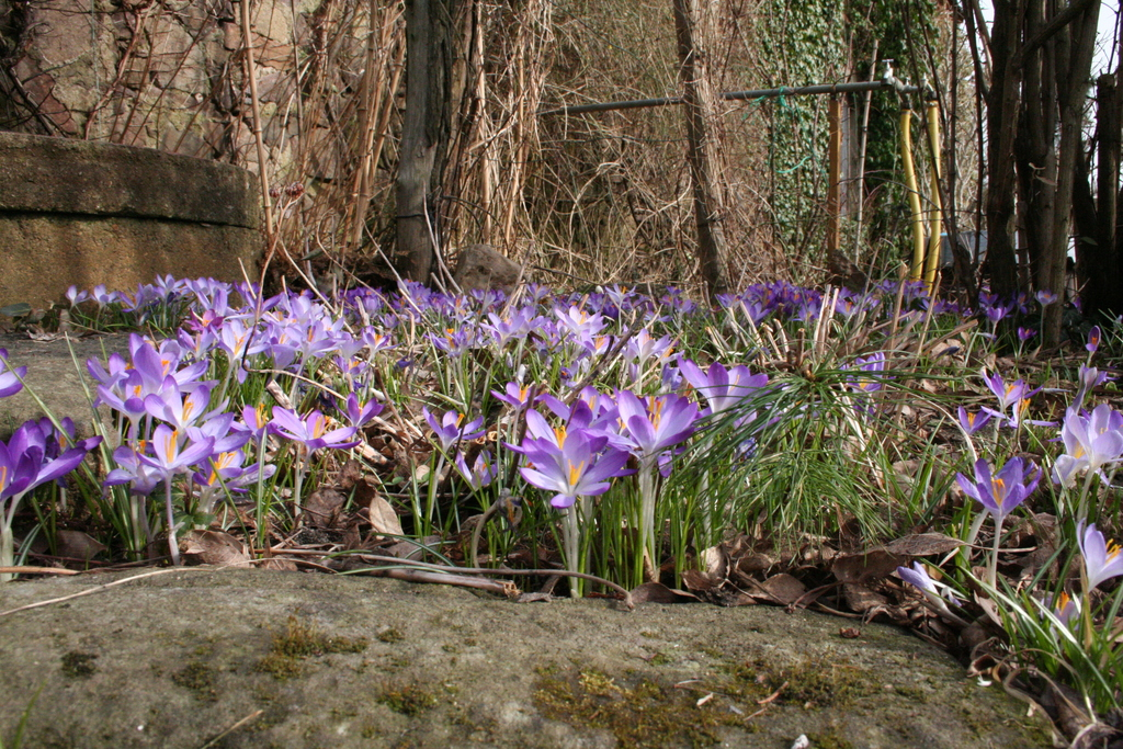 Krokusse, Märzenbecher, Schneeglöckchen und Winterlinge bedecken große Flächen im Garten