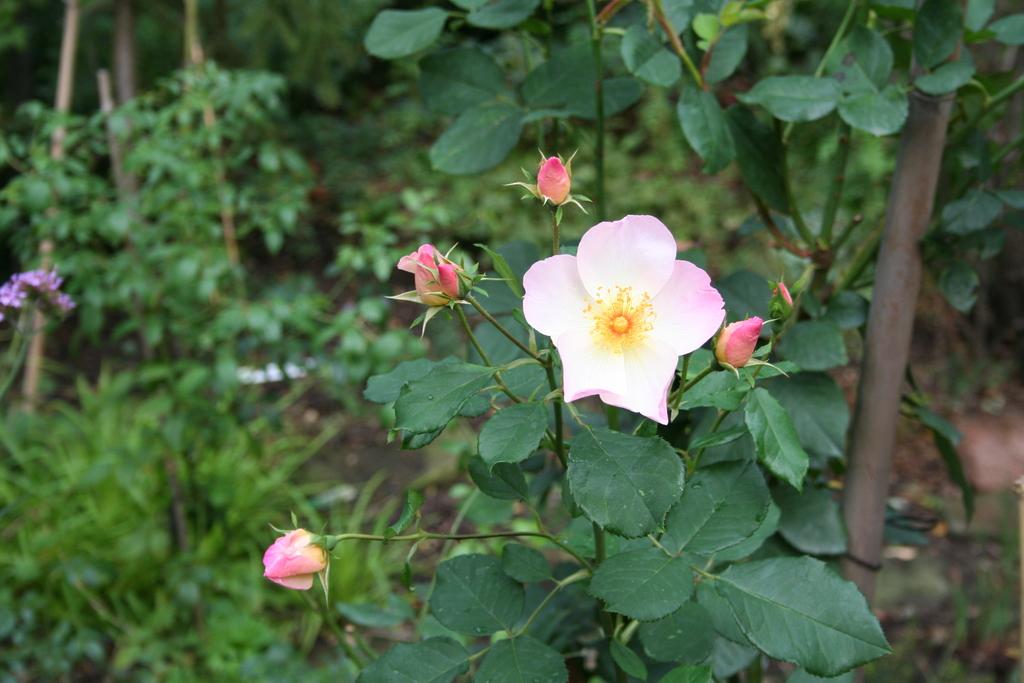 Oktober 2012: Rose Morning Mist