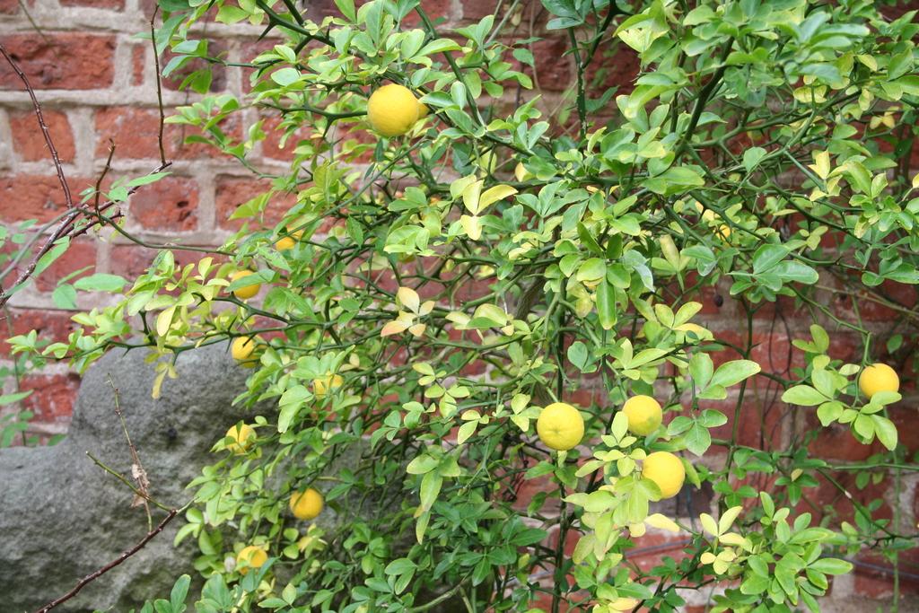 Oktober 2012: Winterharte Zitrone