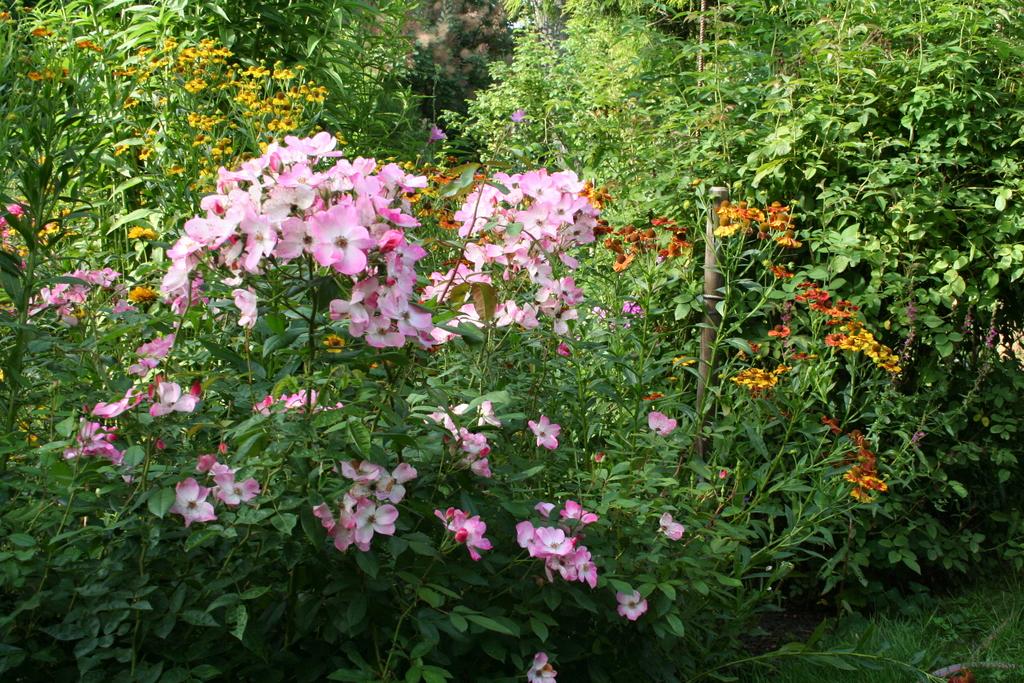August 2013, Sonnenbraut und Rose
