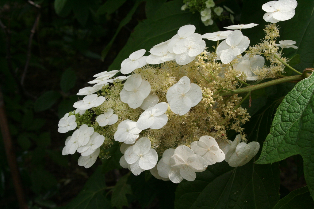 Juli 2014: Hortensien