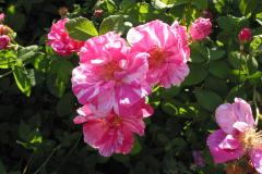 Rosa Mundi (Rosa Gallica, 1581)