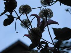 Blüten und Fruchtstände von Clematis