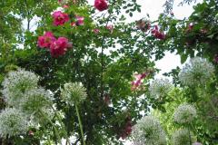 Frühlingszauber (Rosa pimpinellifolia, 1942) mit Allium
