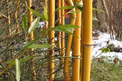 gelber Bambus
