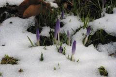 erste Krokusse im Schnee