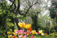 Tulpen im Bauerngarten mit blühenden Obstbäumen