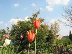 Bambus hinter Tulpen