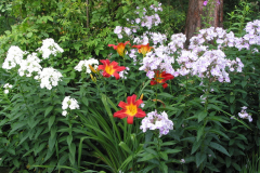 Phlox in Gesellschaft mit Taglilien