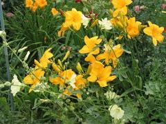Taglilien mit Malven