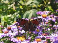 Herbstastern mit Schmetterlingen