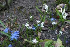 weiße und blaue Scilla (Blaustern)
