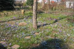 Scilla (Blaustern)
