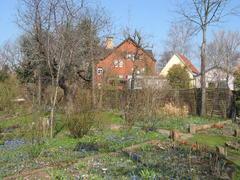 Unzählige Scilla färben den Garten im zeitigen Frühjahr