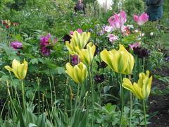 Strauchpäonie hinter Tulpen