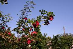 Rosa moeysii H.