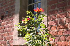 Kapuzinerrose (Rosa lutea bicolor ,1590)