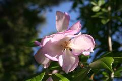 Wildrose Samen aus England