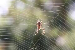 Spinnennetze
