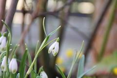 hasenohriges Schneeglöckchen (Galanthus scharlockii)