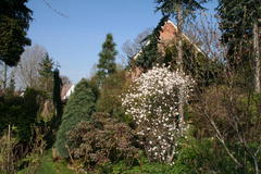 Magnolie in voller Blüte