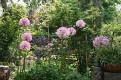 Allium und Akeleien
