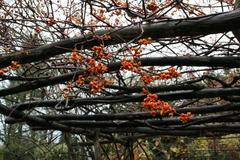 Die Früchte des Baumwürgers setzen letzte farbliche Akzente.