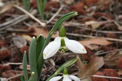 Schneeglöckchen wachsen in Saxdorf in großer Vielfalt. Der Kenner achtet auf kleine Unterscheide in der Zeichnung der Kelch- und Hüllblätter.