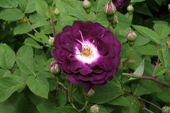 Reine des violettes (Frankreich vor 1800)
