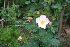 Oktober 2012: Rose Morning Mist