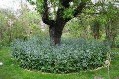 7. Mai 2013: Lungenkraut unter dem Kirschbaum