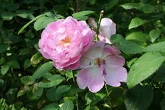 August 2013, Rose