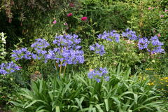 August 2013, Agapanthus
