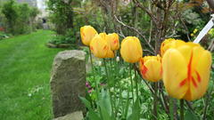 April 2016 - Tulpen