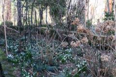 11.3.18, Märzenbecher im Hortensienbeet